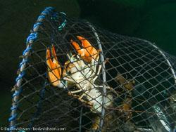 BD-080909-Stocklycke-9091819-Pacifastacus-leniusculus-(Dana.-1852)-[Signal-crayfish.-Signalkräfta].jpg